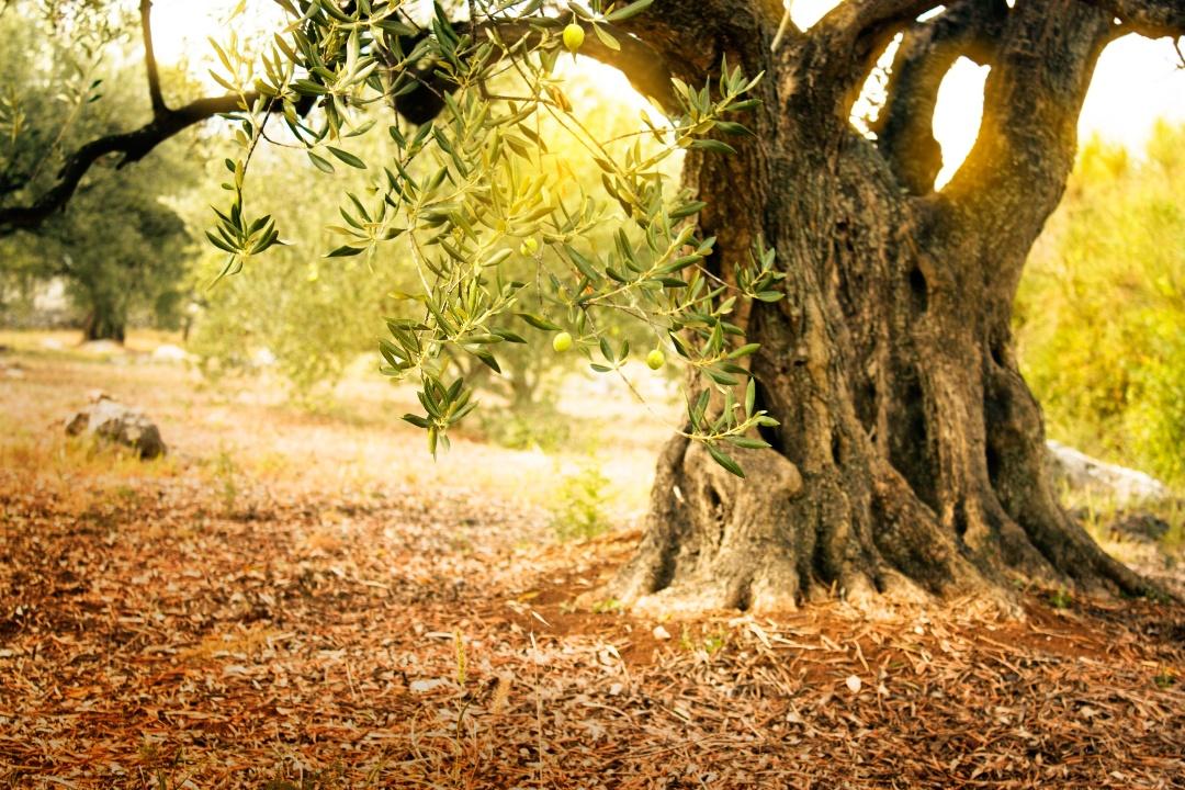 Puglia_Olive_Tree-1
